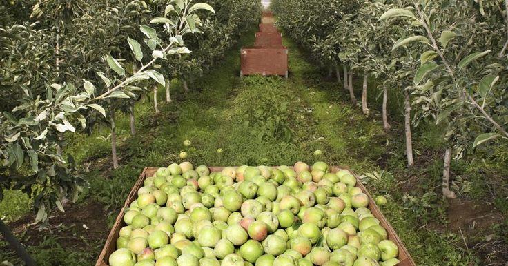 Lista de árboles frutales. Los árboles frutales son plantas con flores que producen frutas que luego consumen los humanos. La fruta en realidad es el ovario maduro que contiene una o más semillas para la reproducción de la planta. Los árboles que dan frutos secos también son considerados generalmente árboles frutales por la ciencia culinaria, sin embargo, la industria ...