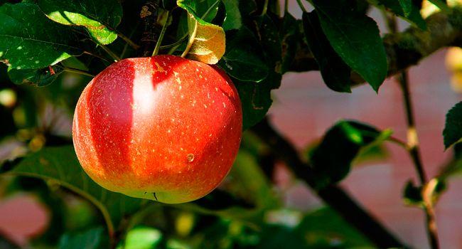Manzana, algo más que un fruto prohibido | Prakaya