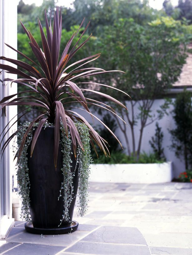 Cordyline.  Red Spike.  Great as height for a container.  Does well in sun or shade.