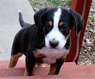 Greater Swiss Mountain Dog Puppies Breeders Mountain Dogs