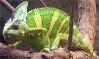 Veiled Chameleon -  are found in Yemen and Saudi Arabia. Males can grow to be 24 inches long and live up to 5 years.  need daytime cage temps around 80* F and a relative humidity of 70%.  will eat some plant matter in addition to insects. are popular pets and make a good first chameleon.   one most commonly recommended for the beginning chameleon owner -seems to adapt most readily to captive conditions.
