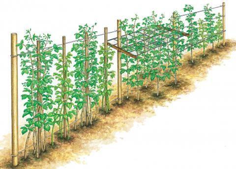 die besten 25 himbeeren pflanzen ideen auf pinterest obstb ume pflanzen landgarten und. Black Bedroom Furniture Sets. Home Design Ideas