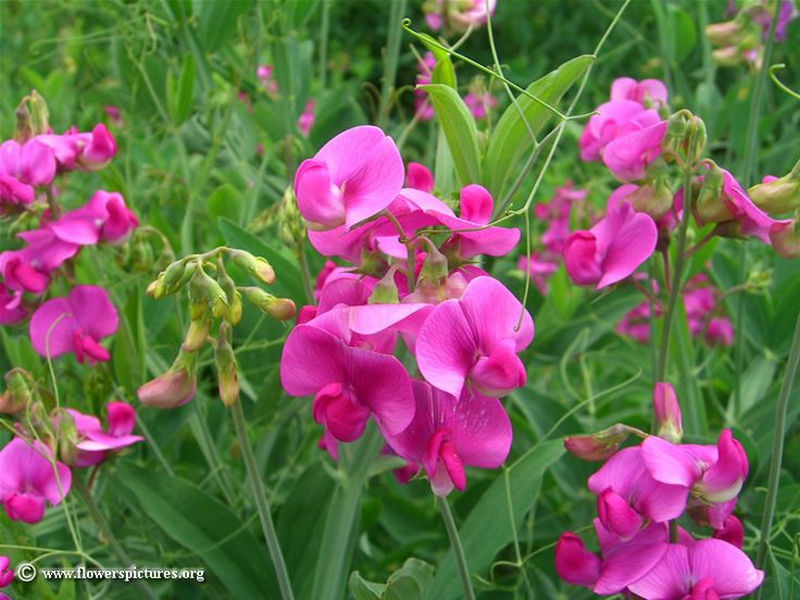 17 Best Ideas About Sweet Pea Flower Pictures On Pinterest
