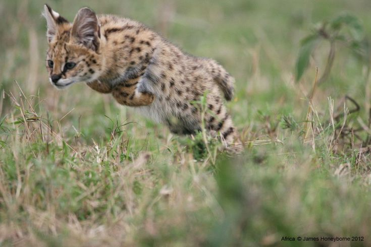 A serval kitten executes a predatory pounce, perhaps for the first time. When her mother is away hunting she uses the opportunity to practice the skills she'll need to survive in Africa's tumultuous savannah lands.