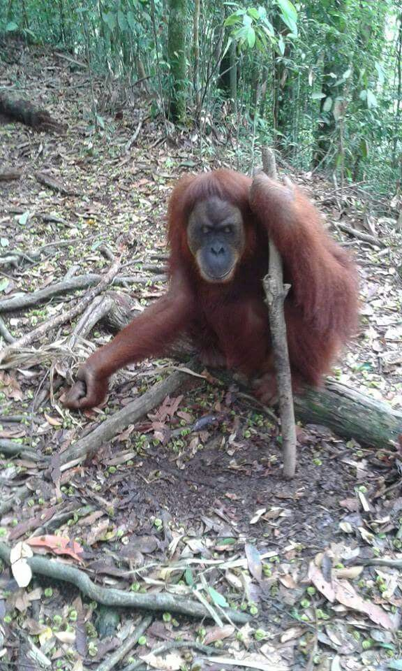 Good way to tell if an orangutan was previously captive aka semi-wild: they will spend time on the ground