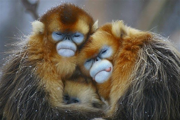 BRRR!!  A family of golden-haired monkeys snuggle together against the cold.