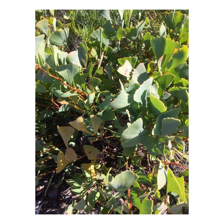 Hakea flabellifolia