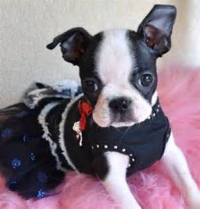 Tiny Toy Boston Terrier Puppy Adorable little Girl 1.9 lb at 8 weeks! Perfectly Marked! Sold ...