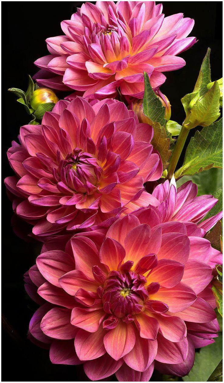Pretty Pink Dahlias