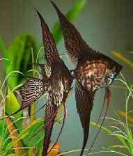 102 best images about angelfish on Pinterest | Ghosts ...
