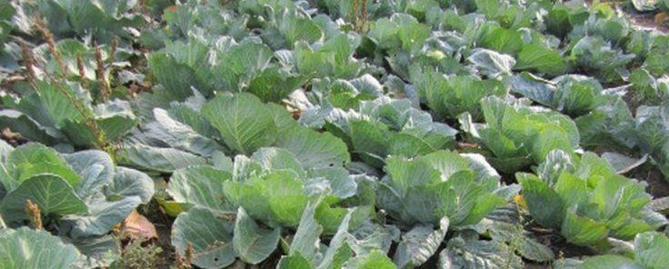"""Ha Szent András hava, illetve november, akkor káposzta, és káposztasavanyítás. Nem véletlenül nevezik a káposztát élelmiszernek és gyógyszernek, hiszen a vitaminok,   valamint az ásványi anyagok gazdag forrása, továbbá a gyógyhatása bizonyított, így ráillik a """"zöldségnövények királynője"""" hízelgő..."""
