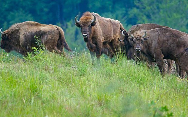 Romania: The return of the European bison | Romania's last bison were hunted out by 1790 as the species headed towards extinction across Europe #telegraph.co.uk #travel #europe #romania #return #bison