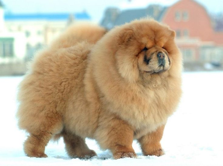Top 10 Fluffiest Dogs In The World Dangerous Dogs Unique Dog Breeds Dog Breeds