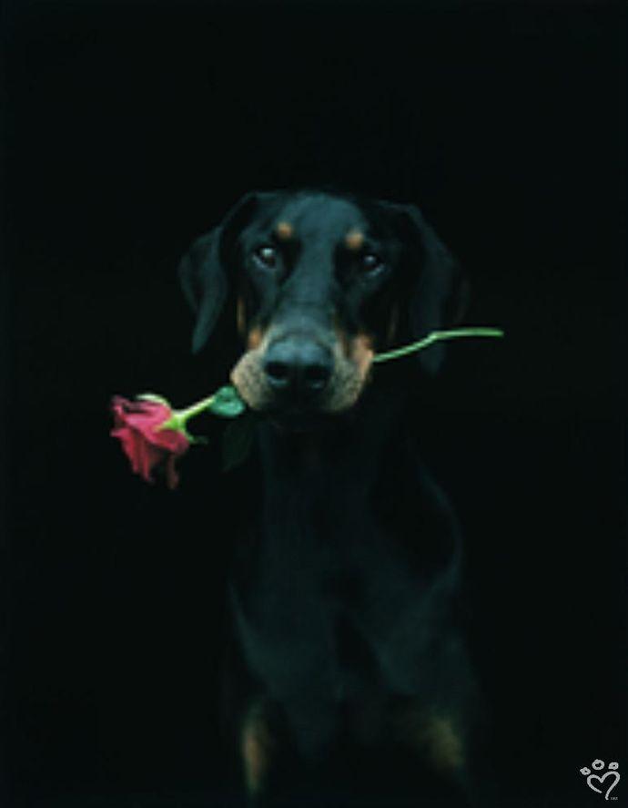 Dobie - Tall, dark and handsome. Dobie is irresistible,  by Rachael Hale