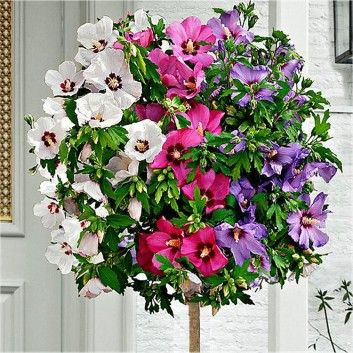 2018 WINTER SALE - Large Tricolor Hibiscus Tree - Three Colours on One Tree! Usually £39.99, today just £24.99 - Save £15!