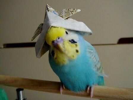 Budgie with hat. .