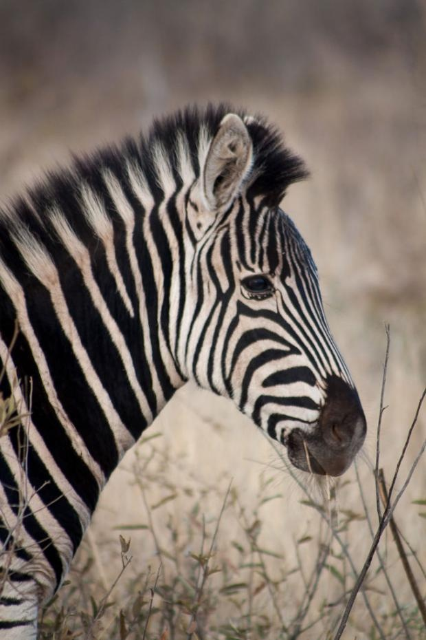 Photographic safari | Burchell's zebra | Tara Turkington