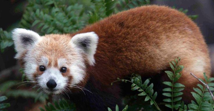 """O Zoológico Nacional de Washington, nos Estados Unidos, chegou a anunciar no seu Twitter que tinha perdido um panda vermelho (""""Ailurus fulgens"""") macho poucas semanas depois de ter sido exposto ao público. Rusty, que fará um ano em julho de 2013, foi recuperado em menos de 24 horas """"são e salvo"""". O panda vermelho é um pequeno mamífero com pelagem castanho-avermelhada que vive em árvores e bambuzais do Himalaia e do Sudoeste da China, a espécie foi classificada como """"vulnerável"""""""