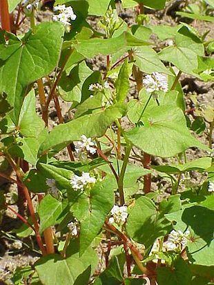 Almindelig boghvede (Fagopyrum esculentum) hører til pileurt-familien (Polygonaceae) og egentlig ikke er en kornart.   Det er en enårig, 30 - 60 cm høj plante med rødlig stængel og pil- til hjerteformede, spidse blade.  Blomsterne er hvide til lyserøde og samlet i en halvskærmformet top.  Frugten er en skarpt trekantet, melrig nød.  Boghvede har sit navn, fordi frøene har samme trekantede facon som bøgetræets frø.  Da boghvede ikke tilhører græsfamilien, ligesom kornarterne (cerealier) fx…