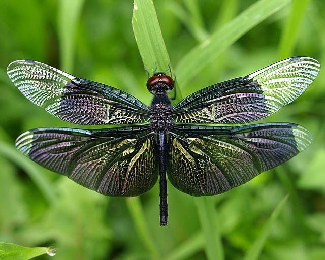 Dragonfly via worldsmostamazingthings.com