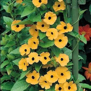 BLACK-EYED SUSAN VINE SEEDS Thunbergia alata  A trailing or twining annual vine with triangular 3 inch leaves and masses of 1-1.5 inch wide, tubular flowers with or without contrasting, dark eyes. Colors include orange, yellow, and white. Use as a ground cover, in hanging baskets, or train on a trellis or strings. TIGER EYES Black-Eyed Susan Vine Seeds  Flowers are orange with black eyes.