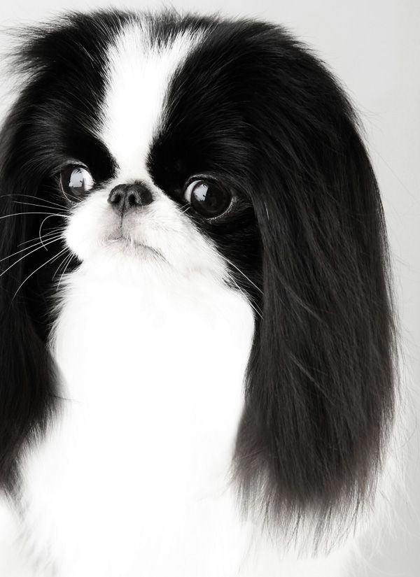 A beautiful Japanese Chin