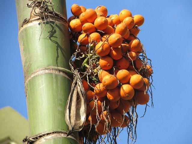Cara memproses buah pinang mentah menjadi siap olah serta cara mengolah kulit pinang sebagai asap cair dan briket kulit pinang