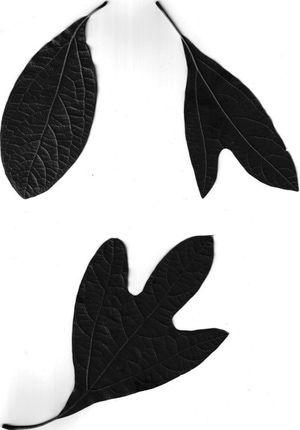 Silhouettes Sassafras Leaves - Steve Nix