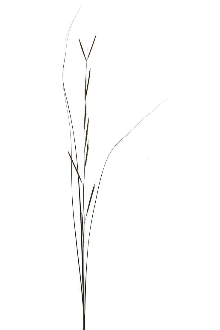 native prairie grass: big bluestem (mary jo hoffman)