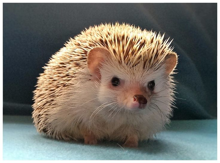 I am an ethical African pygmy hedgehog breeder and have hoglets for sale. These are my hedgehogs.
