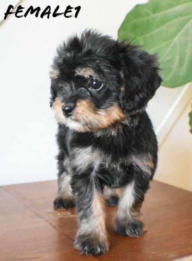 Cavapoo In Motley Minnesota Hoobly Classifieds In 2020 Cavapoo Puppies Cavapoo Puppies