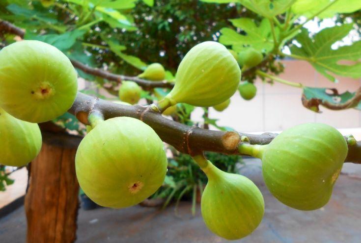 Feigen sind zuverlässige Fruchtbäume
