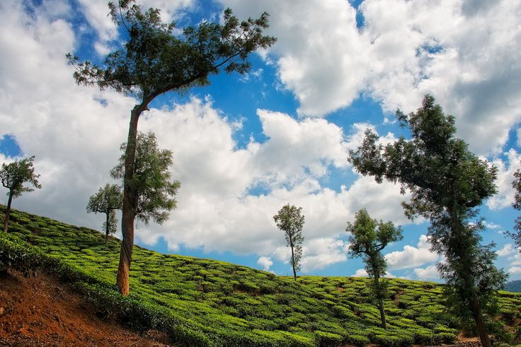 https://flic.kr/p/p5zj7g | Tea Plantation in Thekkady, Kerala, India