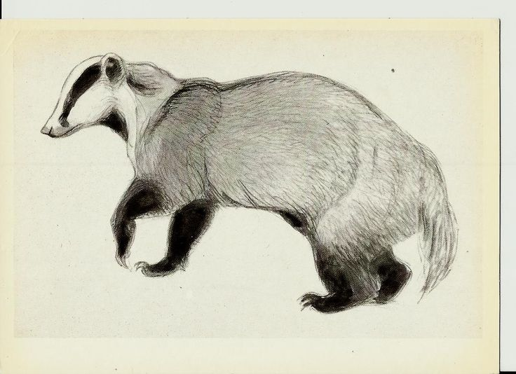 Badger, Drawing, Illustrations of Animals by Vatagin, Vintage Russian Postcard  unused 1978 by LucyMarket on Etsy
