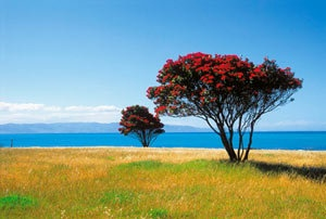 Pohutukawa  tree from New Zealand