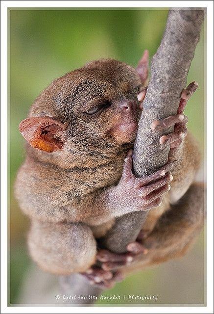 150 best images about Animals- lemurs, tarsias, loris ...
