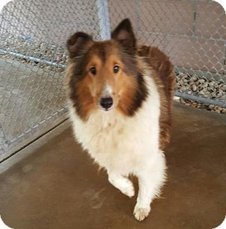 46 Best Lost And Found Collies Shelties X Images On Pinterest Collie Sheltie And Lost