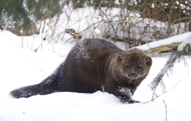 Fisher Cat (Martes pennanti), is no cat and belongs to the Mustelid family, it's said to be as big as a medium size dog and very vicious.