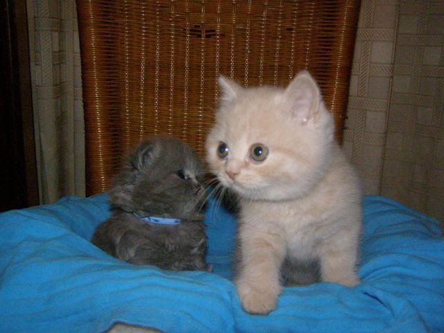 Brits korthaar kitten britintkort.nl crème en brits langhaar kitten blauw. Heeelll klein!