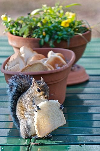 naughty muncher: Squirrelli Squirrels, Daily Breads, Squirrels Eating, Écureuil Squirrels, Lunches Time, Squirrels Sandwiches, Peanut Butter, Snacks Squirrels, Animal