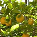 How to Grow Container  Lemon Trees