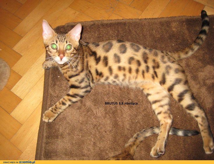 Kocięta bengalskie rodowodowe, rozetowe « Bengalski « Koty « Ogłoszenia ::  http://zoomia.pl/oferty/koty
