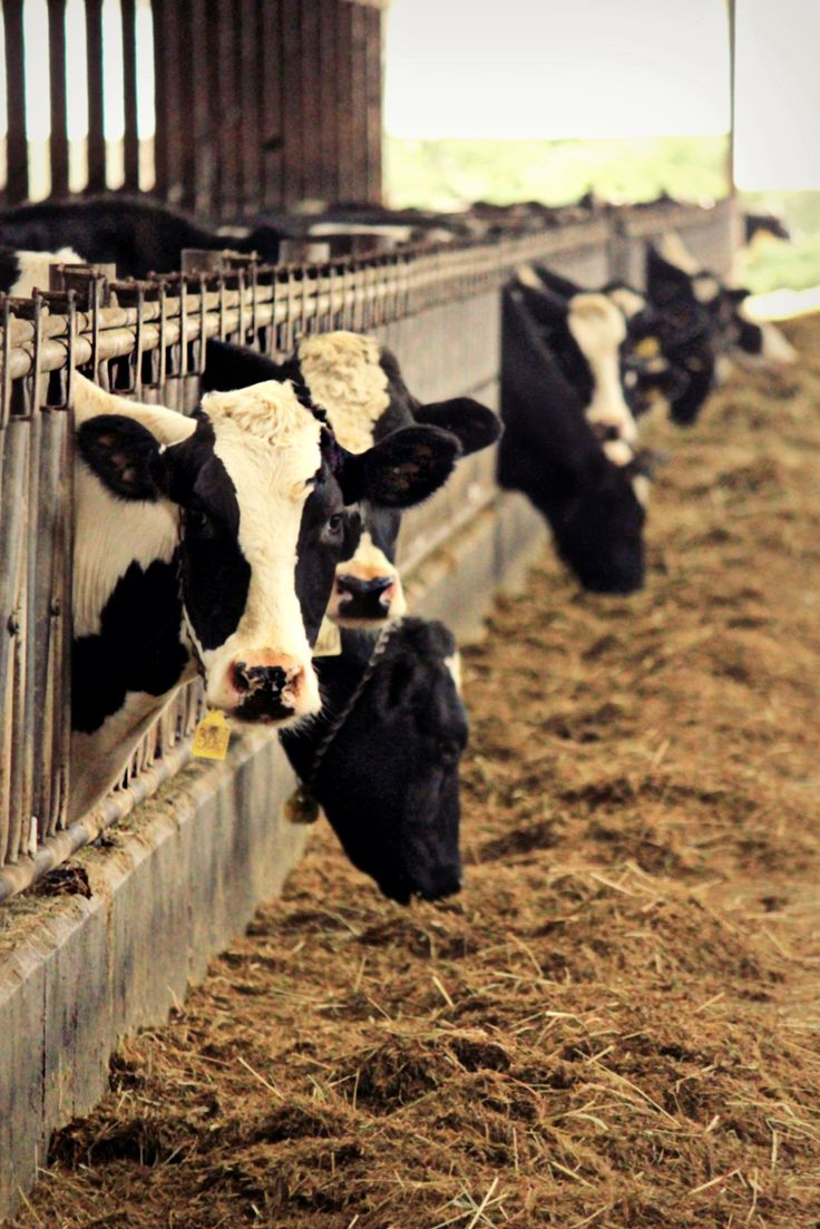 cows and their life I have 2 other sons that have been consuming cows milk all their life, and are healthy, but clearly the son that does not ingest cows milk is healthier because of my sons condition i have been forced to learn about cows milk and am convinced it is not good for you, and again my son is the proof.
