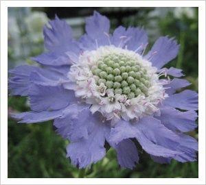 Scabiosa caucasica 'Fama' | Lambley Nursery 30 x 30 summer and autumn
