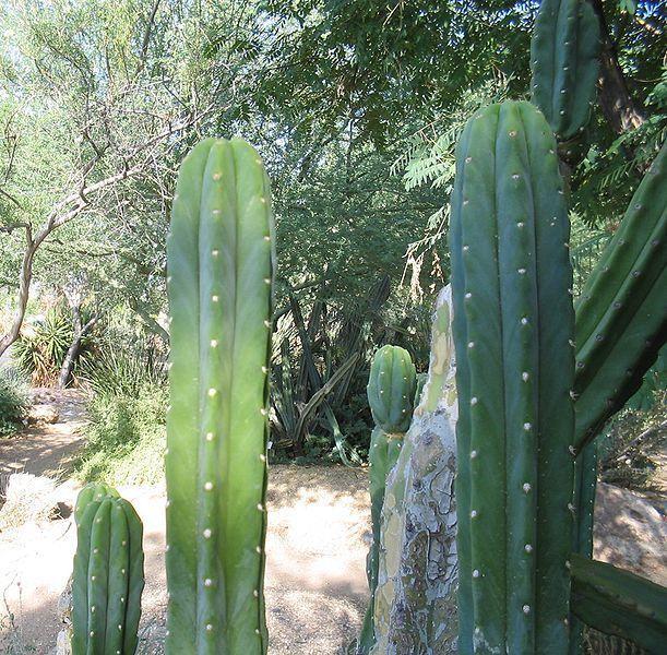 San Pedro Cactus Trichocereus Echinopsis pachanoi, Dried CHIPS 4OZ  #Cactus