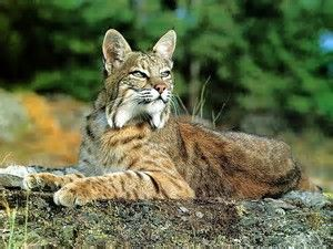 Image result for bobcat pictures