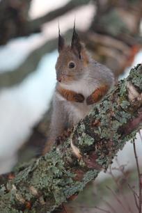 Vuosi alkoi lauhalla kelillä +3 Oravallakin korvantupsut märkänä kun kuvasin aamulla :)