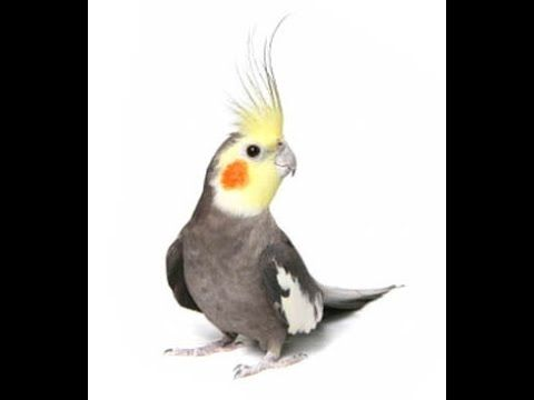 how to get your cockatiel to love you