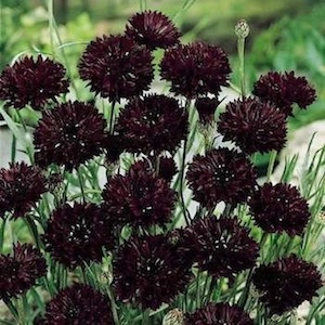 Bachelor's Button, Black Ball - Garden Seeds, Flower Seeds
