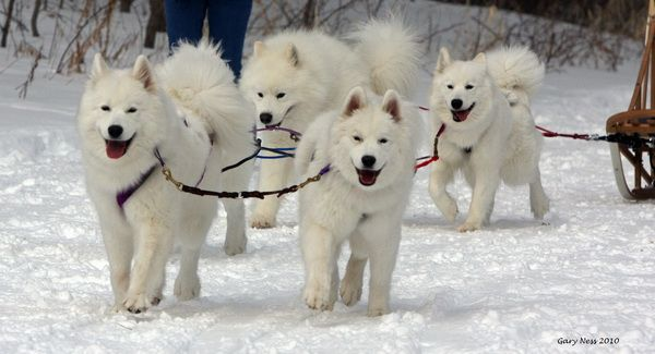 Dog Breeds That Are Used In The Iditarod